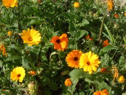 Webinar: Essbare Sommerblüten 1