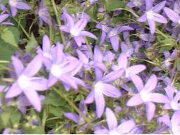 Webinar: Glockenblumen