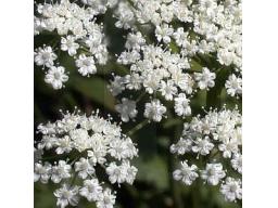 Webinar: ANIS - die  Gewürzpflanze 2014