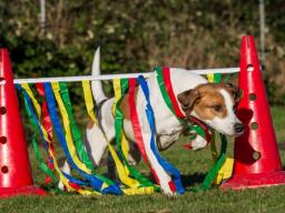 Webinar: Crossdogging für interessierte Hundetrainer