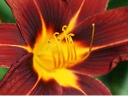 Webinar: Taglilien Freude