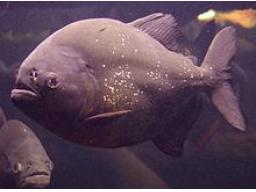 Webinar: Piranha Akquise - Ehrlich, Direkt und Schnell zum Abschluss