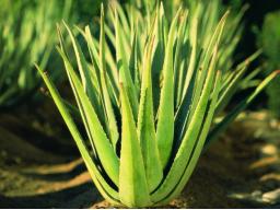 Webinar: Brauchen wir heute noch die Aloe Vera?