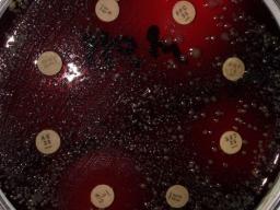 Webinar: Antibiotika und antibakterielle Therapie bei Koi