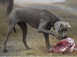 Webinar: B.A.R.F. - Rohfütterung für Hund und Katze leicht gemacht