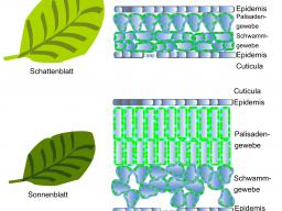Webinar: Abituraufgabe lösen - Fotosynthese