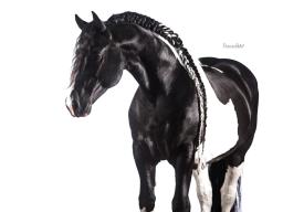 Webinar: Pferdefotografie mit weißem Hintergrund