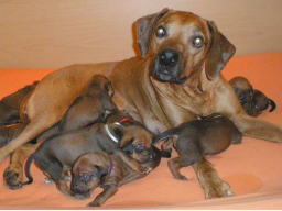 Webinar: Hundezucht - Zuchtunterstützung