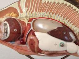 Webinar: Innere Organe der Koi