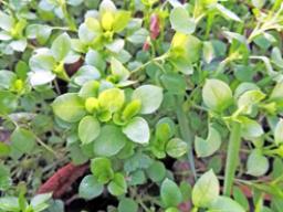 Webinar: Jahreskurs unsere heimischen Heil- und Wildpflanzen Teil 2 - die Vogelmiere