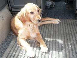 Webinar: Wenn der Hund Angst vor dem Autofahren hat...