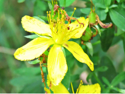 Webinar: Jahreskurs unsere heimischen Heil- und Wildpflanzen Teil 4 -Inhaltsstoffe und ihre Wirkung