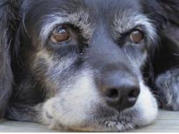 Webinar: Ernährung für Hunde-Senioren