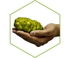 Webinar: Die Königin der Pflanzen - Morinda citrifolia