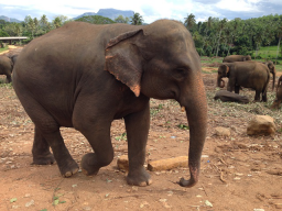 Webinar: Online-Vortrag zum Elefantencoaching auf Sri Lanka