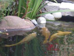 Webinar: Der Koi und sein Wasser: Filter- und Wasserpflege Grundlagen
