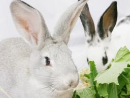 Webinar: Die Verdauung und deren Erkrankung beim Kaninchen (2-teiliges Webinar)