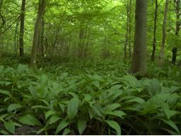 Webinar: Pflanzenportraits - Bärlauch (Allium ursinum)