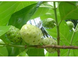 Webinar: morinda citrifolia - Die Königin der Früchte - Altes Wissen, neue Erkenntnisse