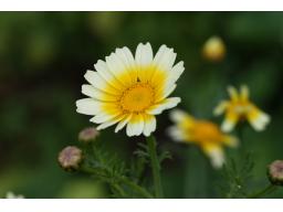 Webinar: Essbare Blätter und Blüten