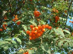 Webinar: Essbare Wildfrüchte