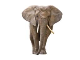 Webinar: Wie viel wiegt ein Elefant?