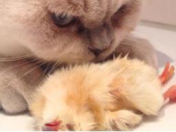 Ausbildung zum Katzenernährungsberater, Block IV die Katze als Fleischfresser