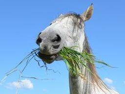 Webinar: Ausbildung zum Pferdeernährungsberater, Block I Anatomie und Physiologie
